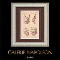 Lions - Lions Grecs - Musées du Vatican - Italie - Ecole des Beaux-Arts à Paris - France | Gravure monochrome dessinée par Raguenet. 1876