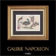 Australia - Birds - Birds of Paradise - Paradisaeidae - Cassowary - Casuariidae - Pteropus vampyrus - Pteropodidae