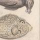 DÉTAILS 05   Océanie - Poissons et Serpents - Trigle-Lyre - Marteau - Coffret triangulaire - Python colossal