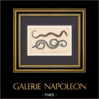 Reptiles - Serpiente - Le Bali - La Couleuvre des Dames