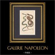 Reptiles - Snake - La Couleuvre Commune - La Quatre Raies