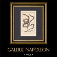 Reptiles - Snake - Le Serpent d'Esculape - La Violette