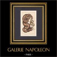 Reptiles - Serpiente - Python - Le Molure - La Double Raie