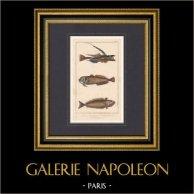 Fish - Atlantic Stargazer - Callionyme Lyre - Uranoscop Rat - Trachine Vive