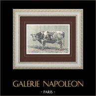 Vacca - Vache Normande   Incisione xilografica originale disegnata da P. Mahler. 1904