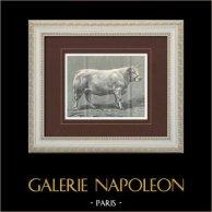 Vacca - Vache Nivernaise   Incisione xilografica originale disegnata da P. Mahler. 1904