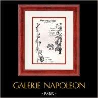 Botanique - Plantes - Renonculacées - Ranunculaceae - Ranunculus - Auricomus - Arvensis - Tête d'or - Des Champs | Planche botanique. 1950