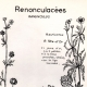 DÉTAILS 01 | Botanique - Plantes - Renonculacées - Ranunculaceae - Ranunculus - Auricomus - Arvensis - Tête d'or - Des Champs