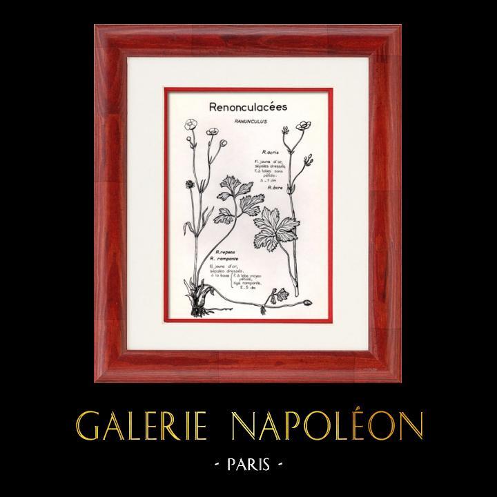 Antique Prints & Drawings   Botany - Botanical - Ranunculaceae - Ranunculus - Acris - Repens   Plate   1950
