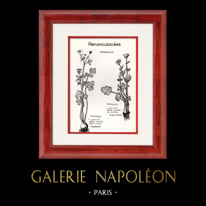 Antique Prints & Drawings   Botany - Botanical - Ranunculaceae - Ranunculus - Philonotis - Bulbosus   Plate   1950