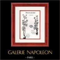 Botany - Botanical - Ranunculaceae - Ranunculus - Philonotis - Bulbosus | Botanical plate. 1950