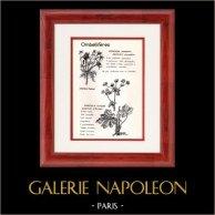 Botanique - Plantes - Ombellifères - Apiaceae - Eryngium campestre - Sanicula europaea - Panicaut champêtre - Sanicle d'Europe | Planche botanique. 1950