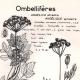 DÉTAILS 01 | Botanique - Plantes - Ombellifères - Apiaceae - Angelica silvestris - Seseli montanum - Angélique sylvestre - Séséli des montagnes