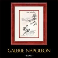 Botanique - Plantes - Caprifoliacées - Caprifoliaceae - Lonicera - Periclymenum - Chèvrefeuille | Planche botanique. 1950