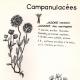 DÉTAILS 01   Botanique - Plantes - Campanulacées - Campanulaceae - Jasione montana - Specularia speculum - Jasione des montagnes - Spéculaire miroir de vénus