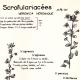 DÉTAILS 01 | Botanique - Plantes - Scrofulariacées - Scrophulariaceae - Veronica - Agrestis - Persica - Véronique de Perse