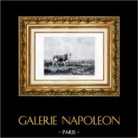 Toro en el Pasto - Taureau au Pâturage (Jacques Raymond Brascassat) | Original grabado al aguafuerte según J. Brascassat, grabado por G. Greux. 1880