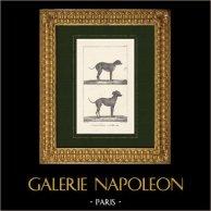 Dogs - Canidae - Petit Danois - Chien Turc - Variegatus