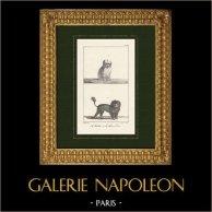 Chiens - Canidés - Bichon - Bichon maltais - Canis familiaris Maelitacus - Chien Lion