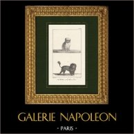 Dogs - Canidae - Bichon - Bichon maltais - Canis familiaris Maelitacus - Chien Lion