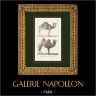 Camel - Dromedary - Camelidae - Camelus dromedarius | Lithography drawn by Meunier, lithographied by Motte. 1825