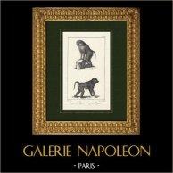 Monkey - Papion - Baboon - Primates