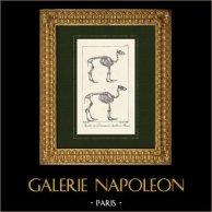 Squelette - Chameau - Dromadaire - Camelidés - Camelus dromedarius  | Lithographie originale dessinée par Rossin, lithographiée par Motte. 1825