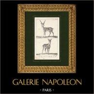 Antelope - Blackbuck - Bovidae