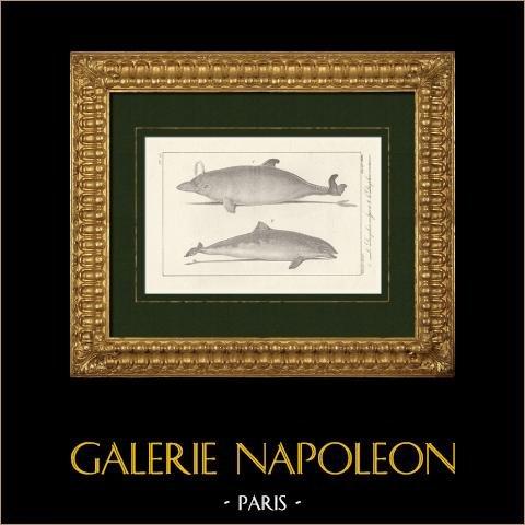Delfin - Delphinus Delphis - Morświn Portowy - Phocoena Phocoena - Cetacea |
