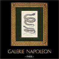 Asp Viper - Vipera aspis - Smooth snake - Coronella austriaca - Reptiles