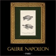 Turtle - Loggerhead sea turtle - Caretta caretta - Cheloniidae - Reptiles