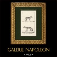 Jackal - Golden jackal - Canis aureus - Arctic fox - Vulpes lagopus - Canidae