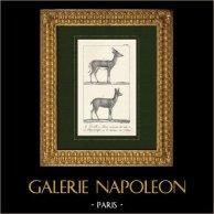 Gazelle - Gazella - Klipspringer - Oreotragus oreotragus - Bovidae