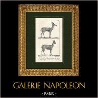 Gazell - Gazella - Klippspringer - Oreotragus oreotragus - Bovidae