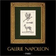 Gazelle - Anatomy - Mammals - Bovids - Herbivores
