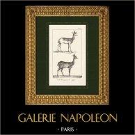 Antilope - Gazell - Nanguer - Nagor - Säugetiere