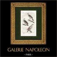 Pássaros - Gavião-da-europa - Accipiter - Falcão-gerifalte   Gravura original em talho-doce sobre cobre desenhada por Prêtre, gravada por Massard. 1825