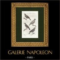 Pájaros - Verdecillo - Pardillo común - Amandava amandava | Grabado original en talla dulce sobre copre dibujado por Prêtre, grabado por Massard. 1825