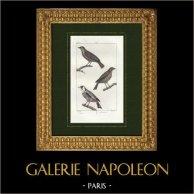 Birds - Passerina  - Greenfinch - Goldfinch