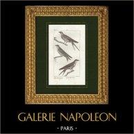 Pájaros - Passeriformes - Golondrinas - Golondrina común - Golondrina pechirrufa - Avión común | Grabado original en talla dulce sobre copre dibujado por Prêtre, grabado por Massard. 1825