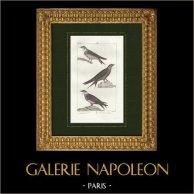 Oiseaux - Passereaux - Hirondelle de rivage - Martinet noir - Martinet à ventre blanc | Gravure sur cuivre originale dessinée par Prêtre, gravée par Massard. 1825