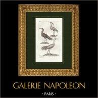 Birds - Great egret - Reddish egret - Heron - Ardea pileata