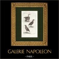 Pájaros - Tigana - Gallineta común - Gallinula Cayennensis