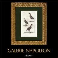 Oiseaux - Poule sultane - Talève Sultane - Foulque macroule
