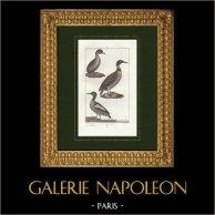Oiseaux - Grèbe Castagneux - Plongeon imbrin - Plongeon huard - Harle | Gravure sur cuivre originale dessinée par Prêtre, gravée par Coignet. 1825