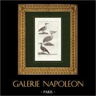 Oiseaux - La Piette - Le Pélican blanc - Le Cormoran