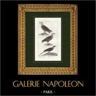 Pájaros - Ave marina - Gavión atlántico - Grisard - Págalo rabero | Grabado original en talla dulce sobre copre dibujado por Prêtre, grabado por Massard. 1825