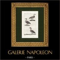 Uccelli - Oca del Canada - Edredone comune - Anatra | Incisione originale a bulino su rame disegnata da Prêtre, incisa da Massard. 1825