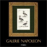 Pájaros - Silbón europeo - Pato crestón - Ánade friso | Grabado original en talla dulce sobre copre dibujado por Prêtre, grabado por Plée fils. 1825