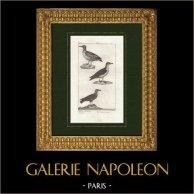 Uccelli - Ucello marino - Petrel - Fulmaro - Gabbiano | Incisione originale a bulino su rame disegnata da Prêtre, incisa da David. 1825